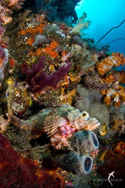Scorpion Fish, Raja Ampat, Indonesia