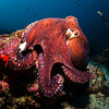 Reef Octopus, South Ari Atoll, Maldives