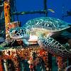 "Green Turtle, Ship Wreck ""Chien Tong"", St. Eustatius"