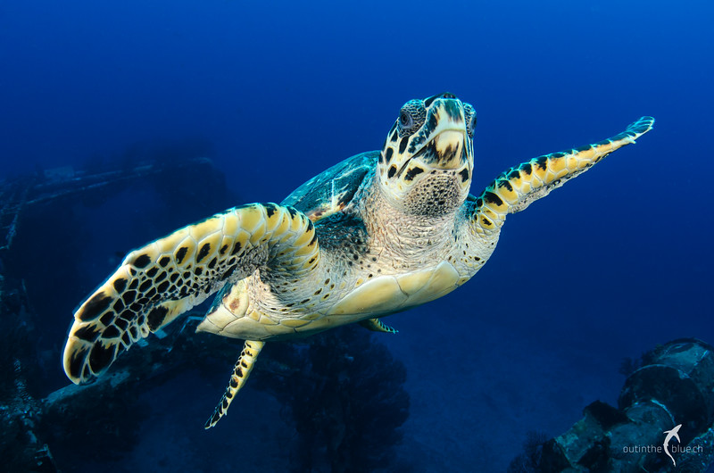 "Hawksbill Turtle, Ship Wreck ""Charles L. Brown"", St. Eustatius"