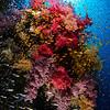 Soft Coral Garden with School of Lyretail Anthias, Safaga, Egypt