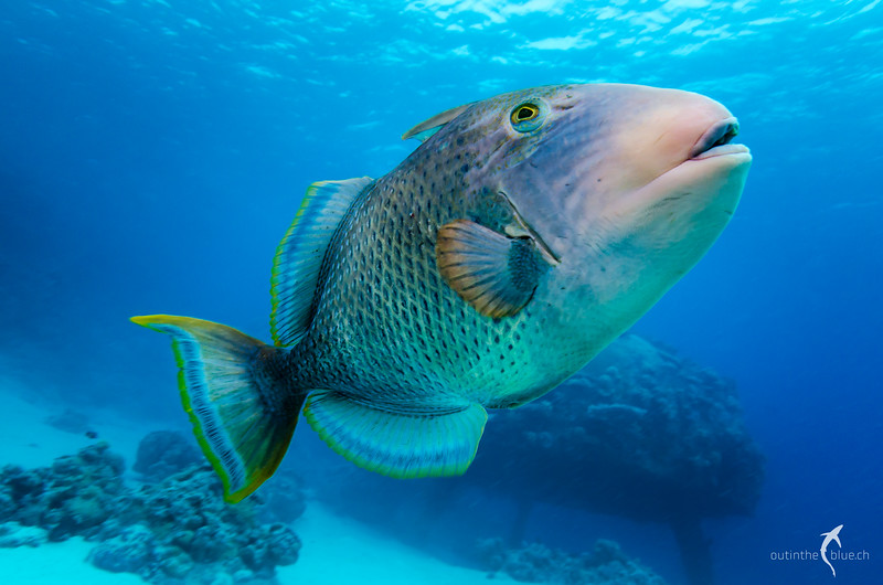 Yellowmargin Triggerfish, Jacques Cousteau's Precontinent II, Sha'ab Rumi, Sudan