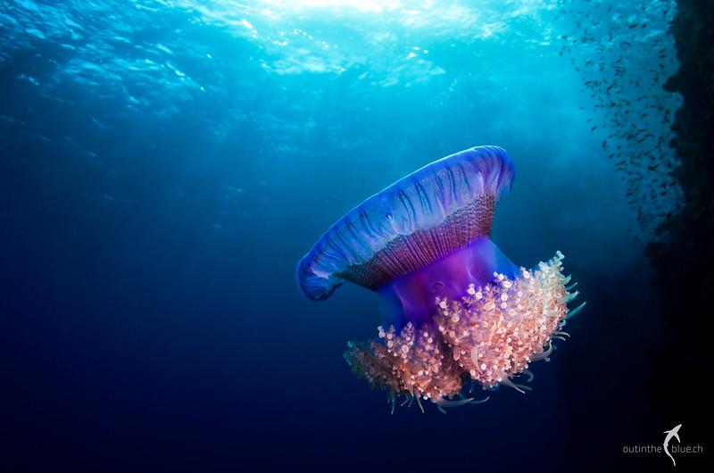 Jellyfish, Angarosh, Sudan