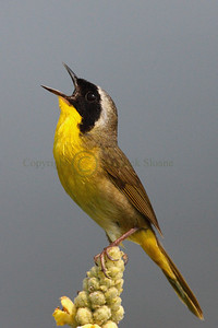 Common Yellowthroat singing on perch