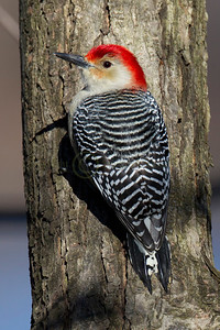 121585 Red Bellied Woodpecker