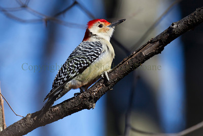 121560 Red Bellied Woodpecker