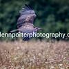 Hooded Vulture in flight.