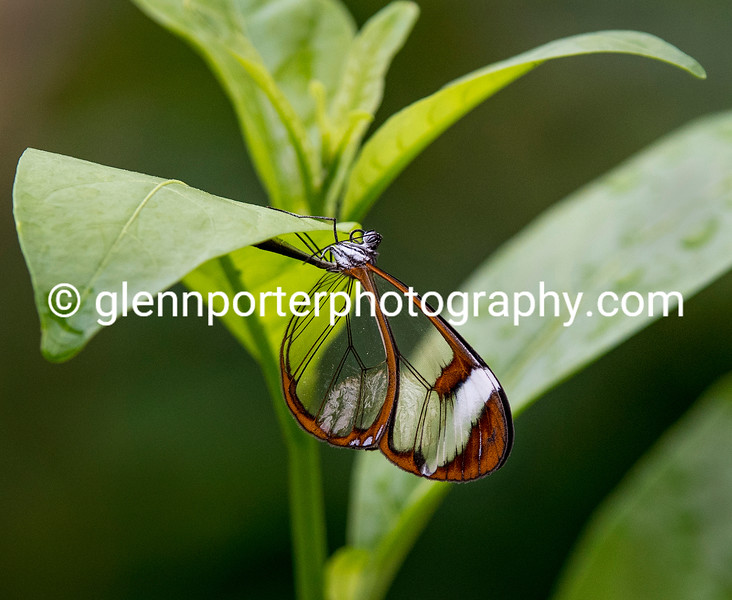 Glass Winged Butterfly.