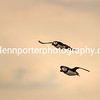 Two Puffins in flight at Inner Farne Island.