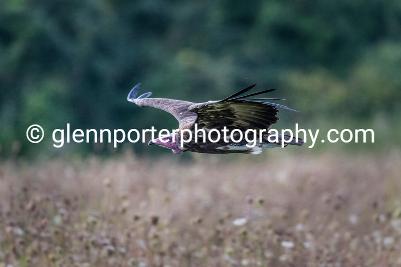 Hooded Vulture flying in the meadow.