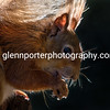 Close up of a Red Squirrel on Brownsea Island, Dorset.