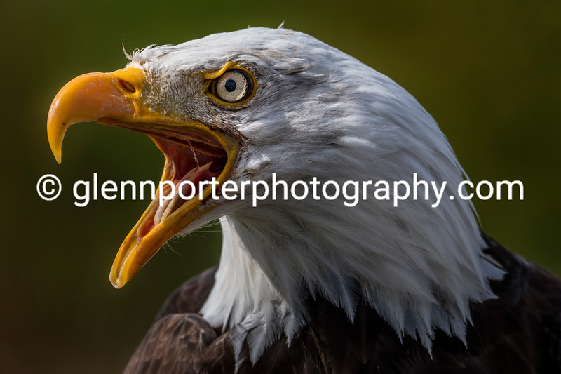 Angry Bald Eagle.