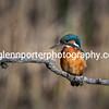 Female Kingfisher.