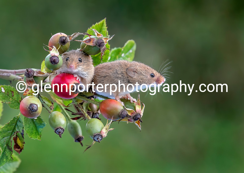 Harvest Mice among the Rosehips.