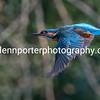Female Kingfisher in flight.
