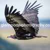 Hooded Vulture.