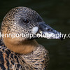 African White Backed duck.