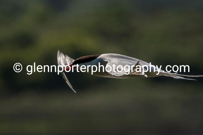 Common Tern with Sand Eel.
