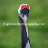 Red Crowned Crane.