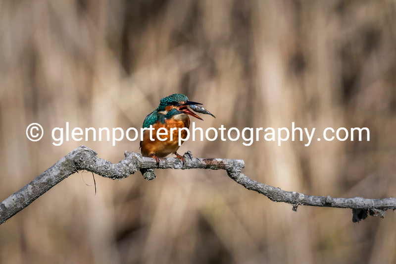 Female Kingfisher with Minnow.