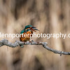 Female Kingfisher with Minnow.