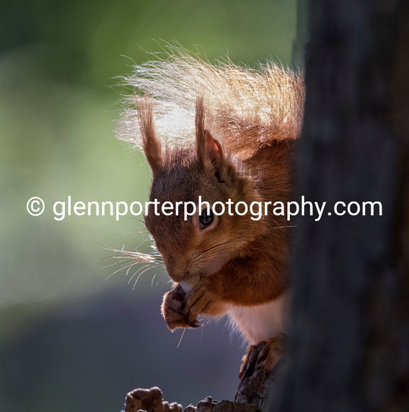 Red Squirrel on Brownsea Island.