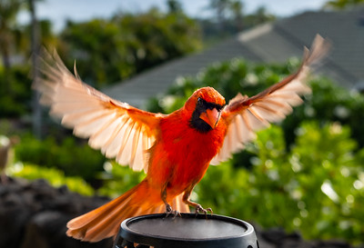 Buddy, the Hawaiian Cardinal // Kailua - Kona, HI