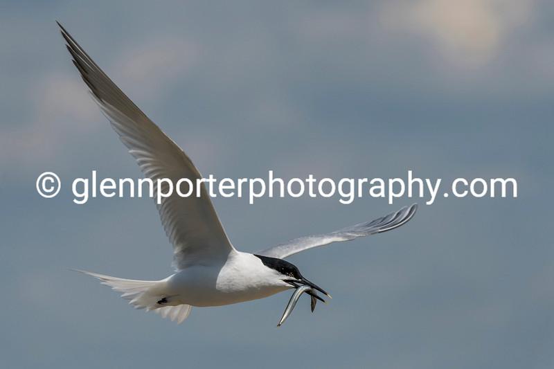 Sandwich Tern with catch on Brownsea Island.