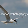 Sandwich Tern with catch on Brownsea Island, Dorset.