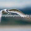 Sandwich Tern, Inner Farne Island