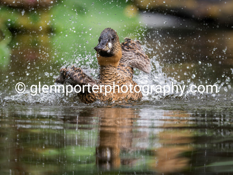 Splash time, African White Backed duck.