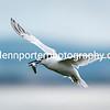 Sandwich Tern, Inner Farne Island, Northumberland.
