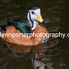 African Pygmy Goose.