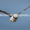 Puffin in flight at Inner Farne Island.
