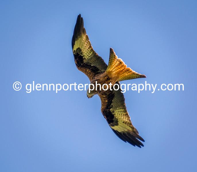 Red Kite.