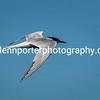 Common Tern in flight.