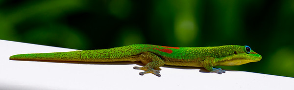 Gold Dusk Day Gecko