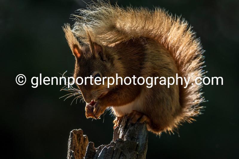 Red Squirrel on Brownsea Island, Dorset.