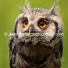 Southern White Faced Owl.