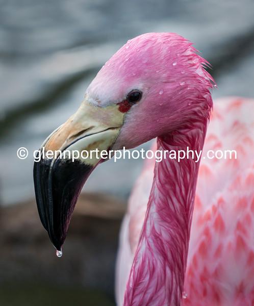 Andean flamingo.