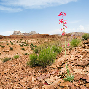 Flower, Monument Valley