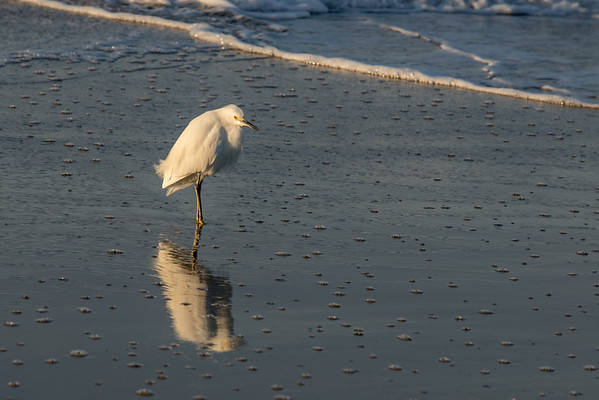 Little Old Man Egret