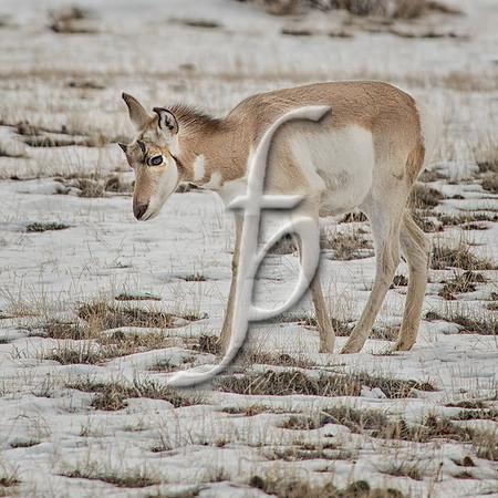 Antelope Babe