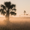 "Early morning fog rises over the grass marsh at the ""Pine Glades Natural Area"" in Jupiter Florida"