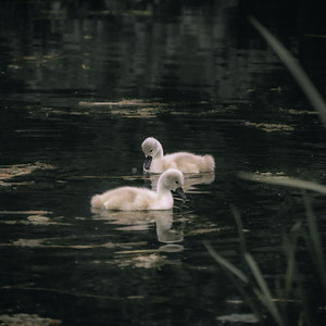 Cygnets & Swans