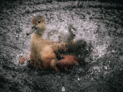 Lesser Javan Whistling Duck