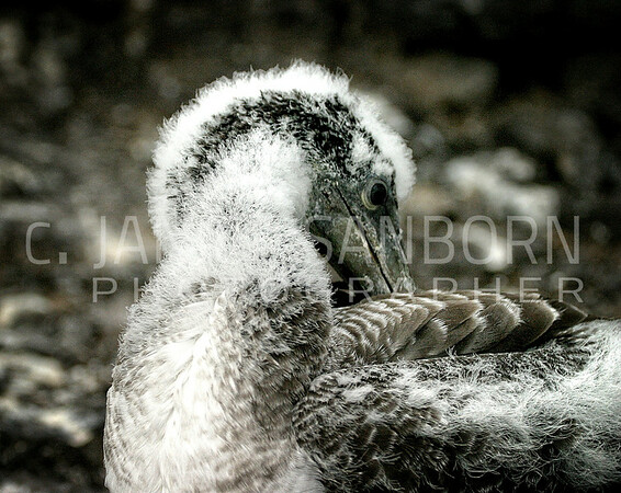 Galapagos11