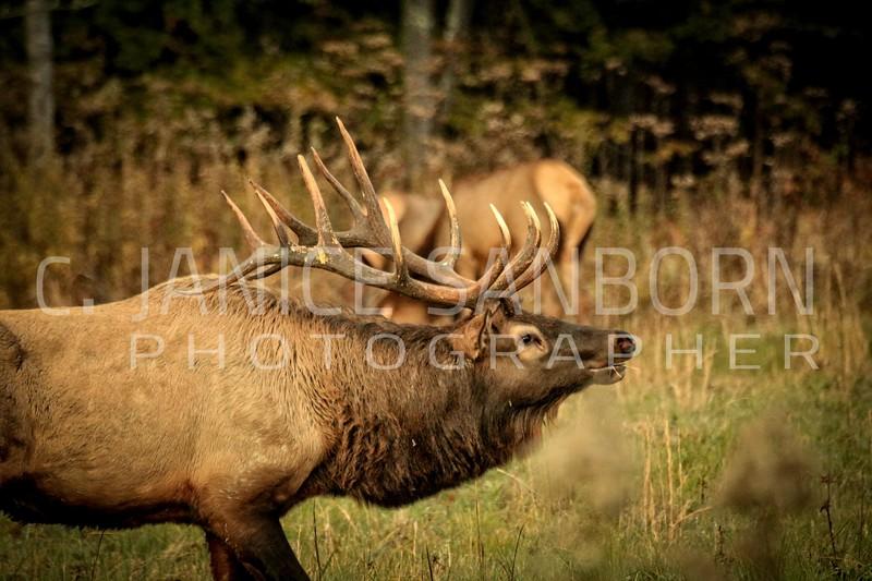 Smokies Elk12