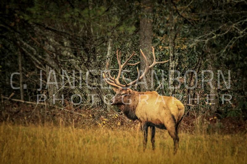 Smokies Elk18