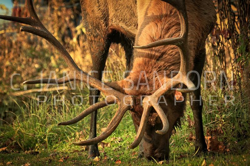 Smokies Elk06